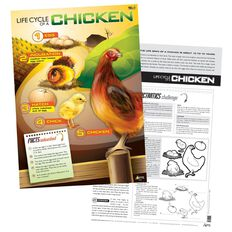 TFC Poster Life Cycle Of A Chicken