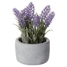 Uniti Lavender Potted Plant